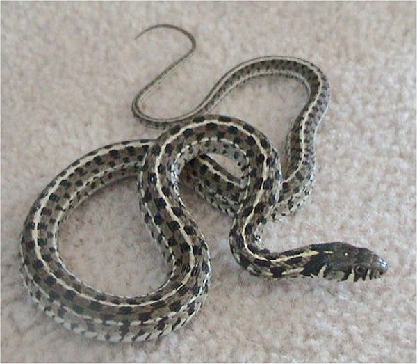Garter snake pictures Garden snakes in texas